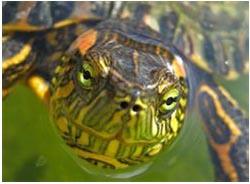 красноухая черепаха не ест вялая спит