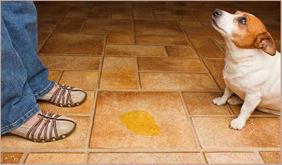 собака часто просится в туалет