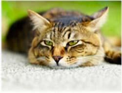 энтерит у кошек симптомы