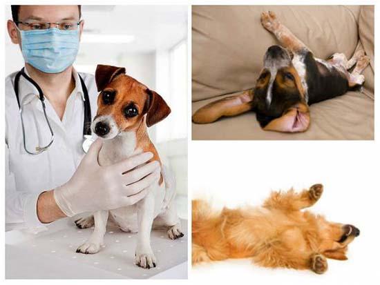 эпилепсия у собак лечение