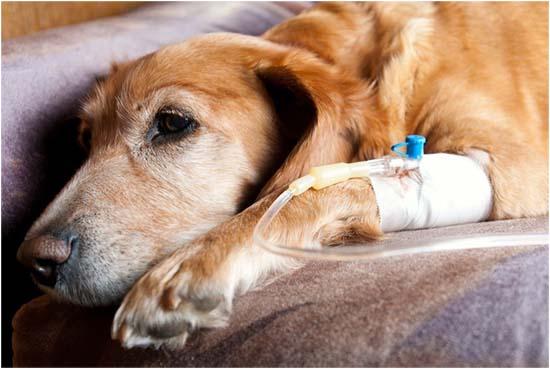 лептоспироз у собак симптомы и лечение