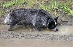 собака пьёт из лужи