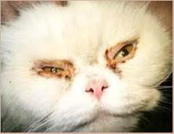 симптомы микоплазмоза у кошки