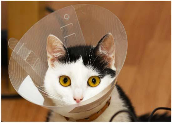 воротник после стерилизации кошки