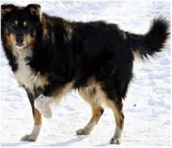 лечение артрита у собаки