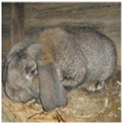 болезни кроликов симптомы лечение фото