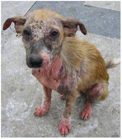 демодекоз у собаки лечение
