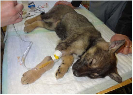 парвовирусный энтерит у собаки