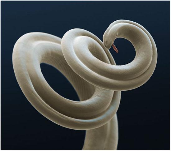черви дирофилярии