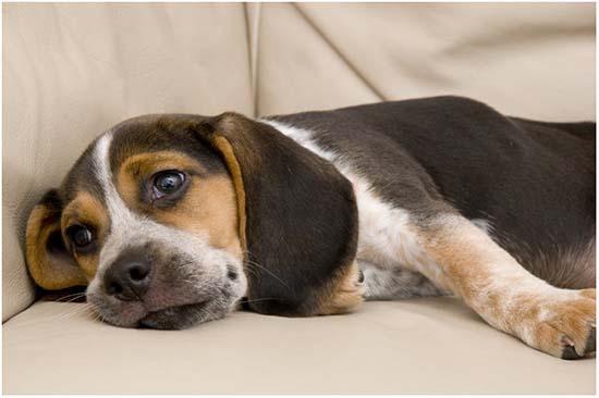 глисты у собаки симптомы и лечение