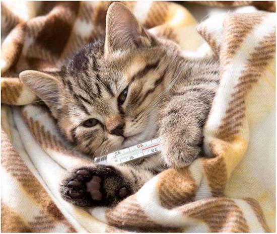 лечение кальцивироза у кошки