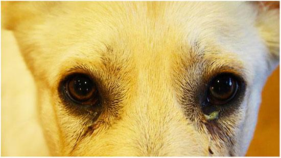 конъюнктивит у собак лечение