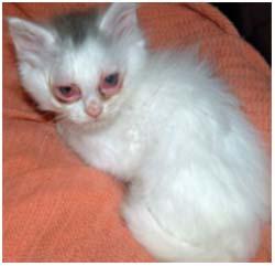 воспаление конъюнктивы у кошки