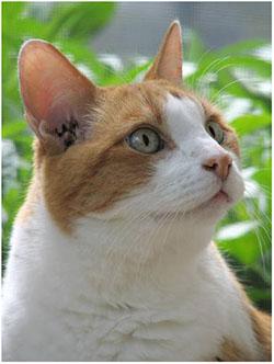 кошка чешет уши и трясет головой
