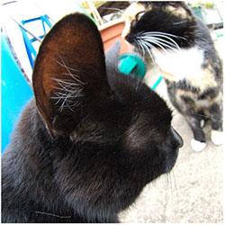 кошка трясет головой уши чистые
