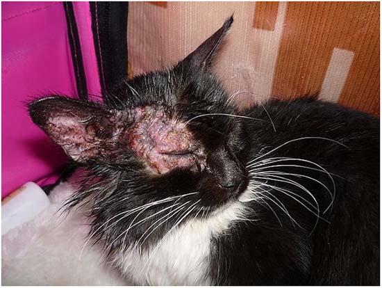 лечение лишая у кошки в домашних условиях