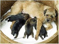 мастит после родов у собаки