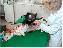 диагностика МКБ у собаки