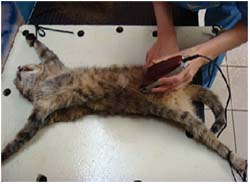 как проходит операция по стерилизации кошки