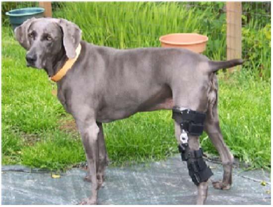 люксация пателлы у собаки лечение