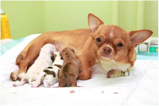 роды у собаки маленькой породы