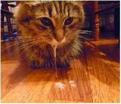 рвота белой пеной у кошки